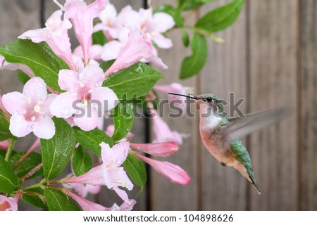 Ruby-throated hummingbird, Archilochus colubris, feeding on honeysuckle flowers