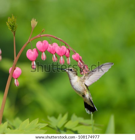 Ruby throated hummingbird (archilochus colubris) female approaching beautiful bleeding heart flowers in the Spring.