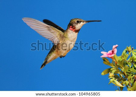 Ruby-throated Hummingbird (archilochus colubris) in flight at a flower with a blue background