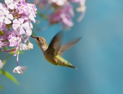 Ruby throated hummingbird (archilochus colubris) in motion in the garden.
