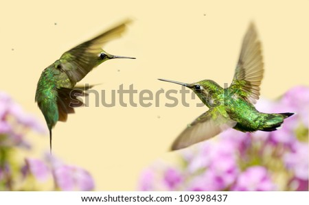 Ruby throated hummingbird female and a juvenile male in motion, fighting over territory.