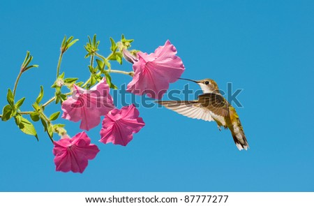 Ruby throated hummingbird, female,  approaches some petunia flowers against a brilliant blue sky.