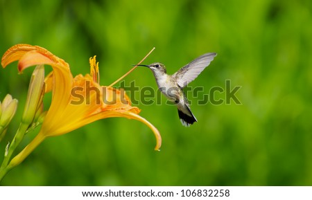 Ruby throated hummingbird female approaching a pretty orange day lily in the summer.