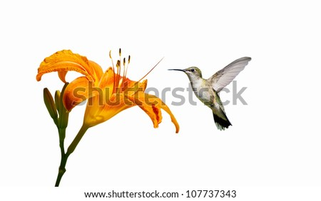 Ruby- throated hummingbird female approaching a pretty orange day lily, isolated on white.