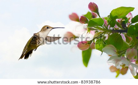 Ruby throated hummingbird, female,  approaching apple blossoms in the Spring.