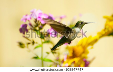Ruby throated hummingbird female  (archilochus colubris) in motion in the garden.