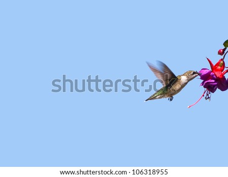Ruby throated hummingbird female in motion drinking nectar from a fuschia flower, isolated on blue with copy space.