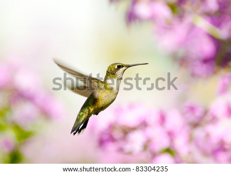 Ruby throated hummingbird, female, in motion in the garden.