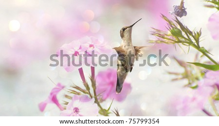 Ruby throated hummingbird, female,  in motion in the garden approaching flowers with bokeh. - stock photo