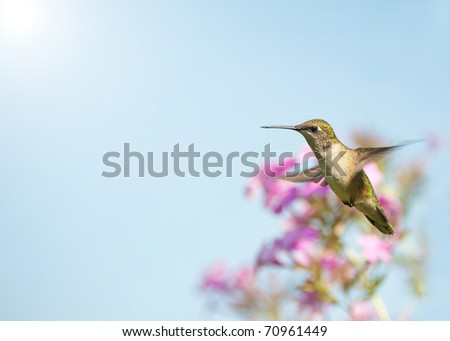 Ruby throated hummingbird, female,  in motion in the garden in the sunshine in summer.