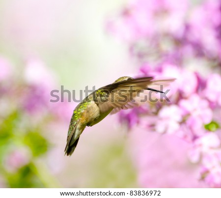 Ruby throated hummingbird, female,  in  motion with her eye peeking out from under her wing, surrounded by pink flowers.