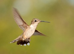 Ruby-throated Hummingbird hovering with wings wide open against green summer background