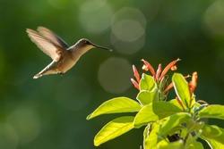 Ruby-throated hummingbird in a feeder back yard home