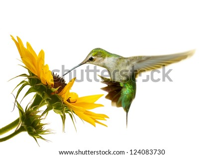 Ruby throated hummingbird, juvenile male, hovering at a sunflower, isolated on white.