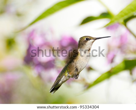 Ruby throated  hummingbird juvenile male  in motion in the garden in summer.