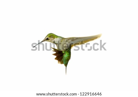 Ruby throated hummingbird juvenile male isolated on white.