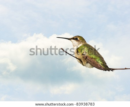 Ruby throated hummingbird, juvenile male,  taking a rest on a branch against a blue and cloudy sky with copy space.