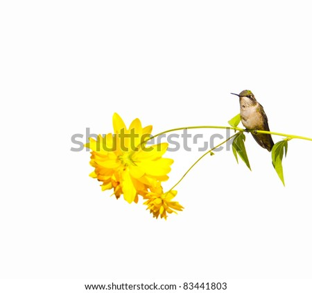 Ruby throated hummingbird, juvenile male,  taking a rest on a flower stem isolated on white with copy space.