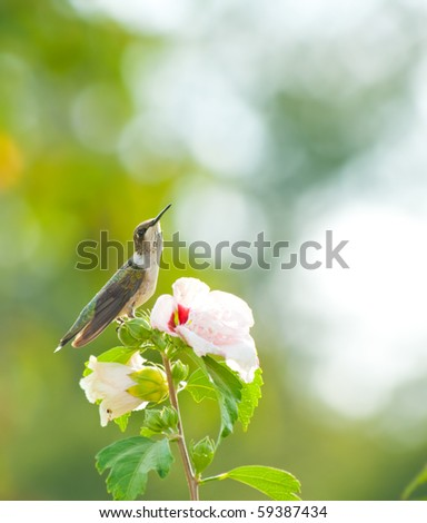 stock-photo-ruby-throated-hummingbird-resting-on-an-althea-flower-59387434.jpg