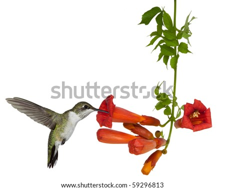 ruby throated hummingbird sips nectar from a trumpet vine; white background