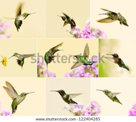 Ruby throated hummingbirds collage with male, juvenile, and females in motion in the garden in summer.