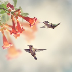 Ruby Throated Hummingbirds Hover Over Trumpet Vine