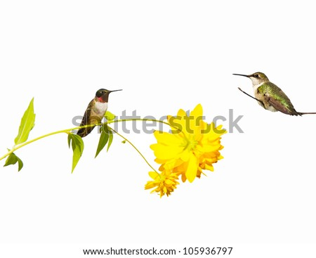 Ruby throated hummingbirds, male and female,  perched, isolated on white.