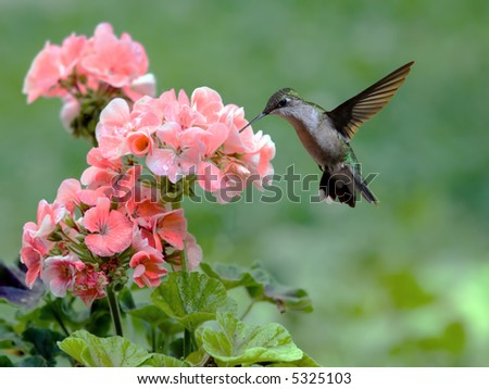 Rubythroated hummingbird feeding on a flowering plant