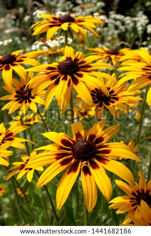 Rudbeckia bicolor is a plant genus in the sunflower family. The species are commonly called coneflowers and black-eyed-susans. Cultivated in gardens for their showy yellow and red flower heads. #1441682186