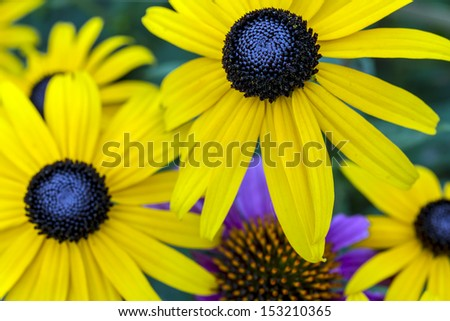 Rudbeckia hirta, black-eyed Susan, is a species of flowering plant in the family Asteraceae, native to the central United States