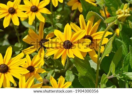 Rudbeckia hirta 'Indian Summer' (Black-Eyed Susan) Stock fotó ©
