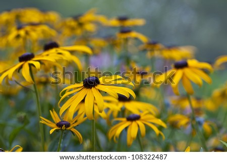 Rudbeckia hirta, the Black-eyed Susan in flower garden in summer at Central Park