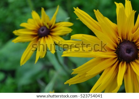 Rudbeckia perennial similar to the daisy tall flowers flowers rudbeckia perennial similar to the daisy tall flowers flowers are yellow mightylinksfo