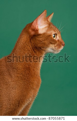 Ruddy abyssinian cat on black green background