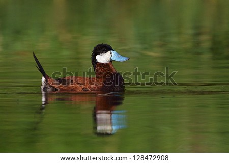 Ruddy Duck, colorful male in breeding display plumage with full reflection on emerald green water, Oxyura jamaicensis, duck hunting