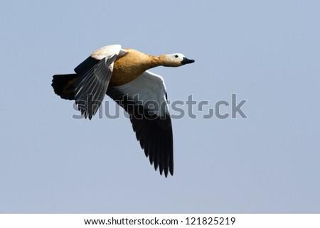 Ruddy Shelduck in flight