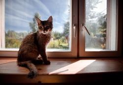 Ruddy somali kitten seating on a windowsill