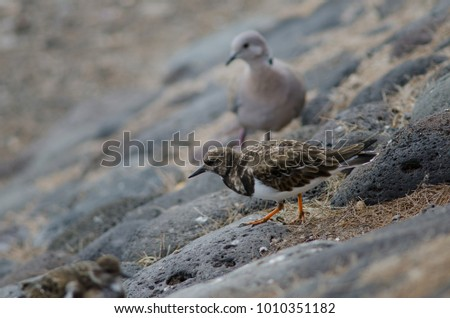 Ruddy turnstone (Arenaria interpres) and Eurasian collared dove (Streptopelia decaocto) in the background. Playa de Arinaga. Agüimes. Gran Canaria. Canary Islands. Spain. #1010351182
