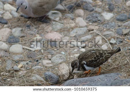 Ruddy turnstone (Arenaria interpres) looking for food and Eurasian collared dove (Streptopelia decaocto) in the background. Playa de Arinaga. Agüimes. Gran Canaria. Canary Islands. Spain. #1010659375