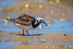 Ruddy turnstone Bird Ria Formosa
