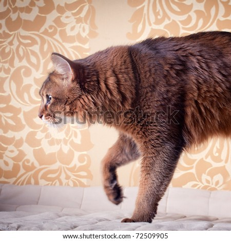 Rudy somali cat portrait on vintage background