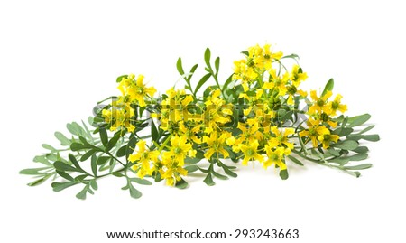 Rue flowers and leaves isolated on white #293243663