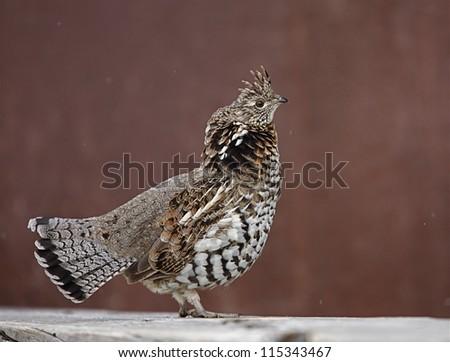 Ruffed Grouse, Bonasa umbellus, the state bird of Pennsylvania; upland game bird hunting