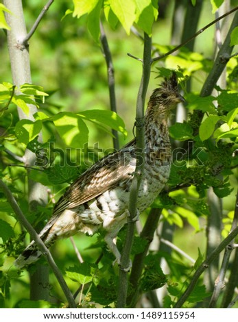Ruffed Grouse perched in a tree #1489115954