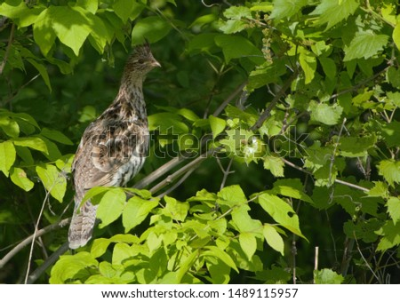 Ruffed Grouse perched in a tree #1489115957