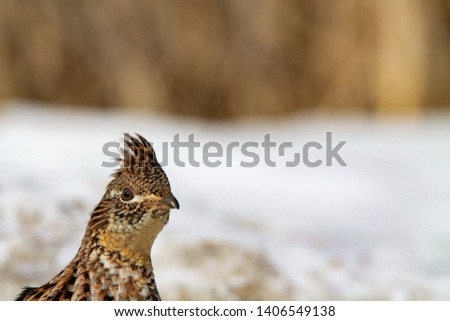 Ruffed Grouse wondering what I'm up to #1406549138