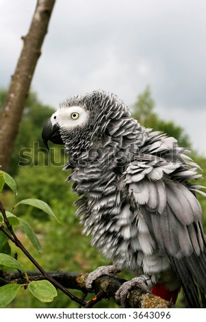 Ruffled up african grey parrot(Psittacus erithacus) sitting on a tree after the rain.