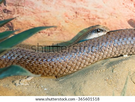 rufous beaked snakes African genus of snakes of medium and large size. Head short, rounded. Body strong, muscular, movement, quick, impetuous.  #365601518
