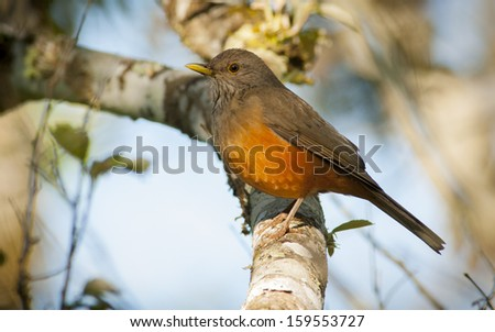 Rufous-bellied Thrush (Turdus rufiventris) perched on a branch