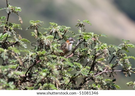 Rufous-collared Sparrow - stock photo